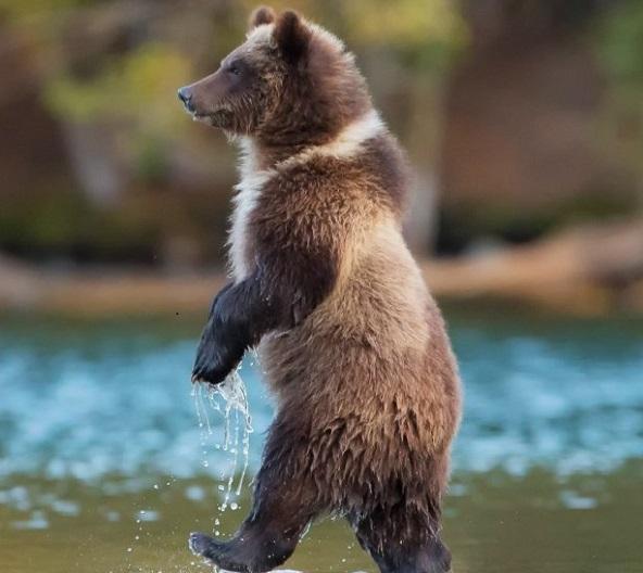 Медведь у реки