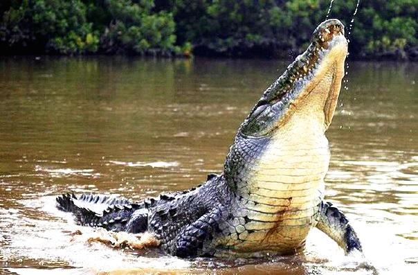 Крокодил в реке