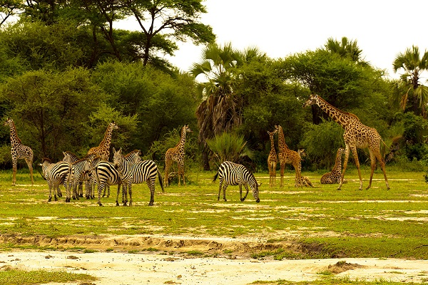 Жирафы. Национальный парк Крюгера в провинции Лимпопо