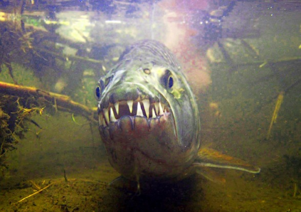 Тигровая рыба в реке