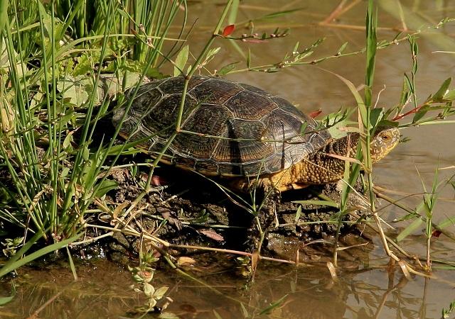 Болотная черепаха у реки