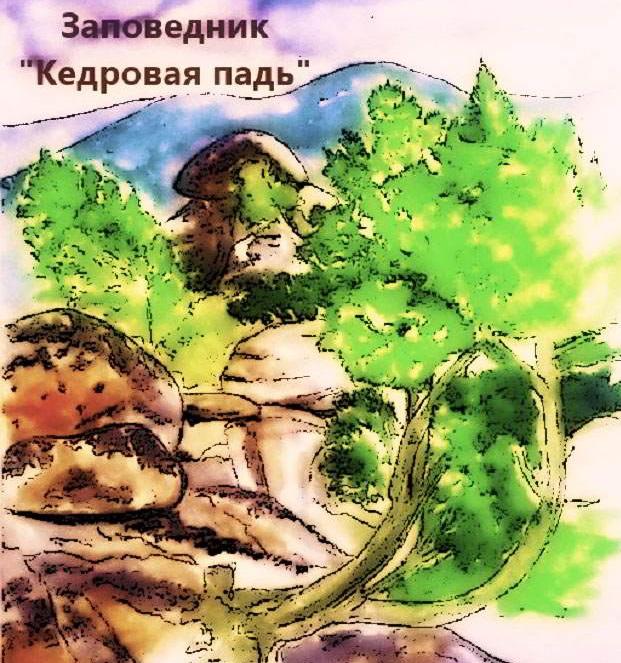"""Заповедник """"Кедровая падь"""" рисунок"""